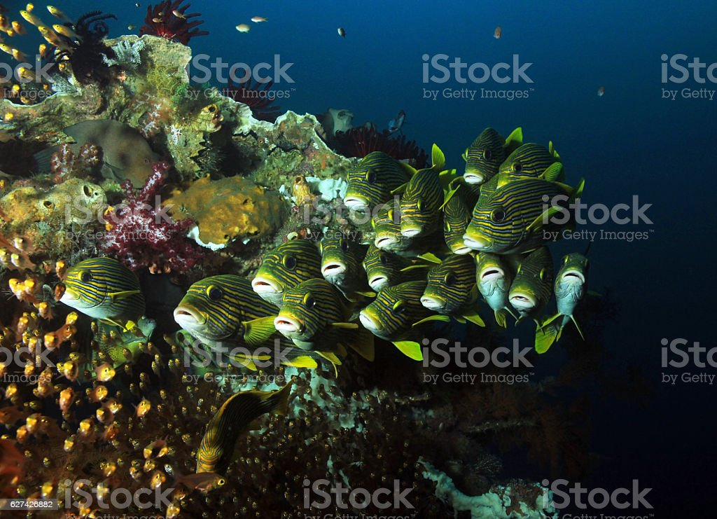 School of Fish on Coral Reef stock photo