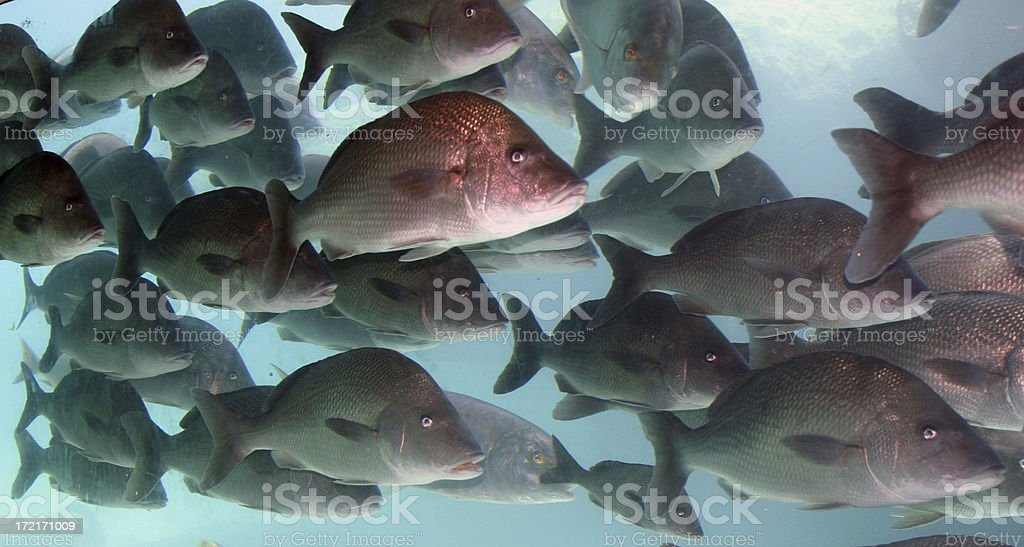School of fish royalty-free stock photo