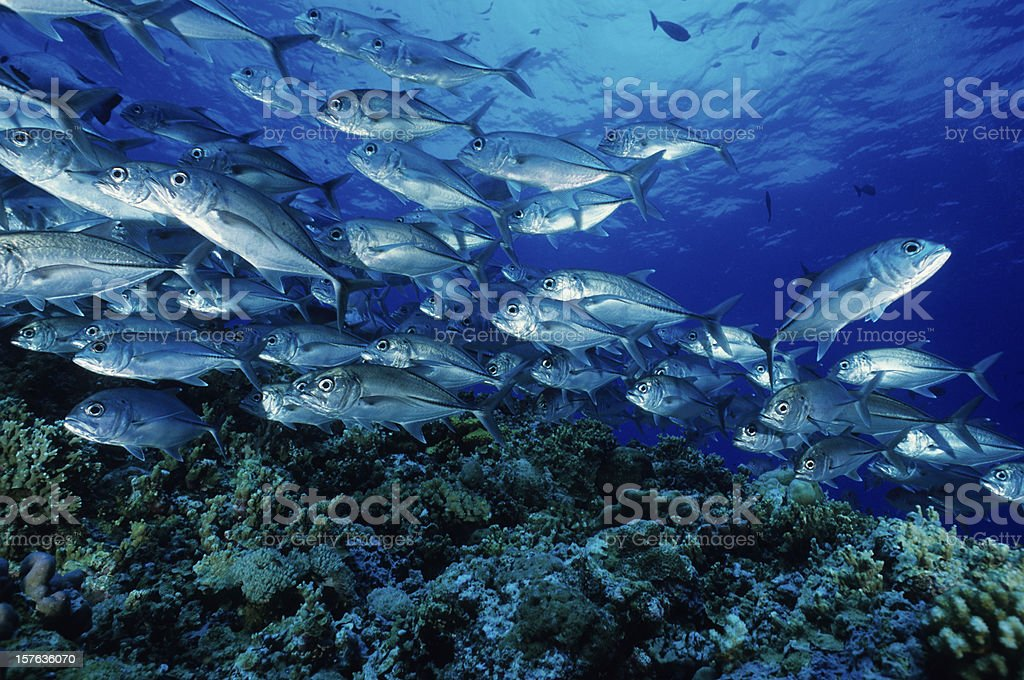 A school of fish swimming, with one going the opposite way stock photo