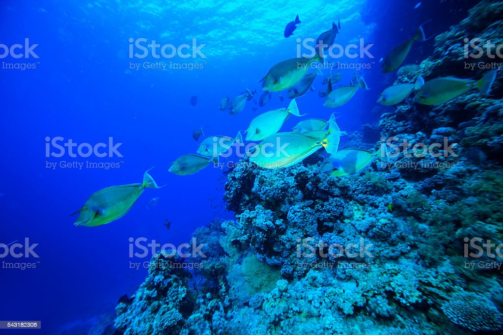 School of fish - Unicornfish stock photo
