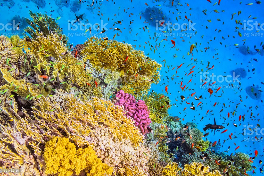 School of Fishes in Goral Garden on Red Sea stock photo