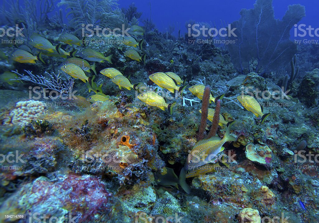 School of five-lined snappers (Lutjanus quinquelineatus), Cayo Largo, Cuba royalty-free stock photo