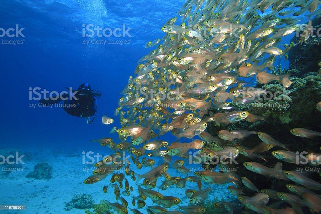School of Glassfish and Scuba Diver stock photo