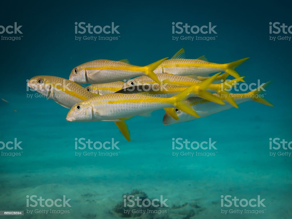 School of Goat fish stock photo