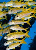 School of Goatfish Vertical