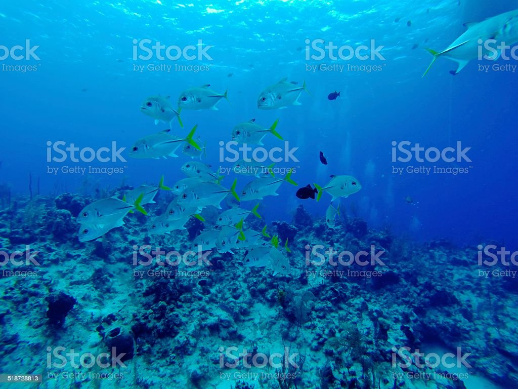 School of Golden Trevally stock photo