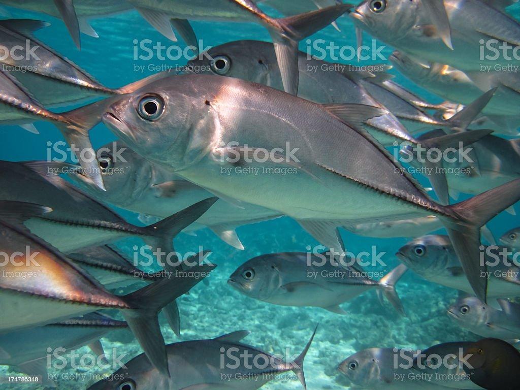 School of Jack Fish, Sipadan, Borneo, Malaysia royalty-free stock photo