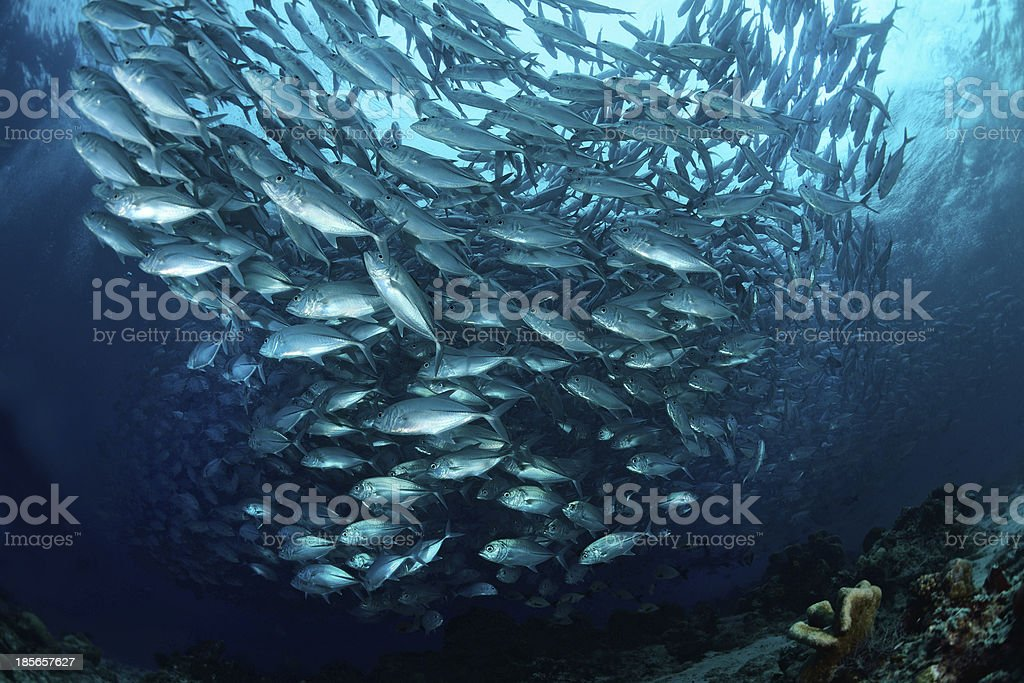 school of Jackfish at Sipadan Island,Borneo,Malaysia stock photo
