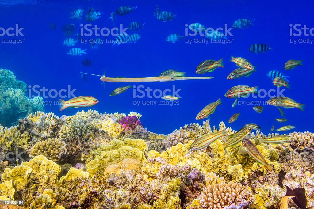 School of Klunzinger's wrasse in Goral Reef on Red Sea stock photo