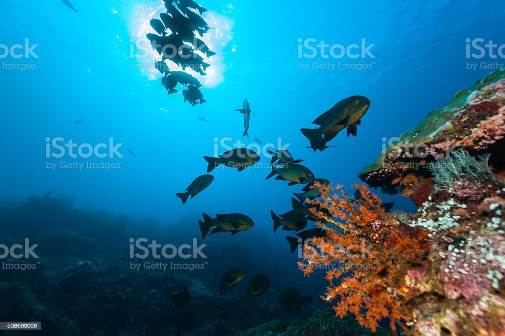 School of Midnight Snappers Macolor macularis, Komodo National Park, Indonesia stock photo
