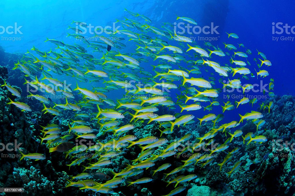 School of mullets fish (Mullus barbatus) – Red sea stock photo