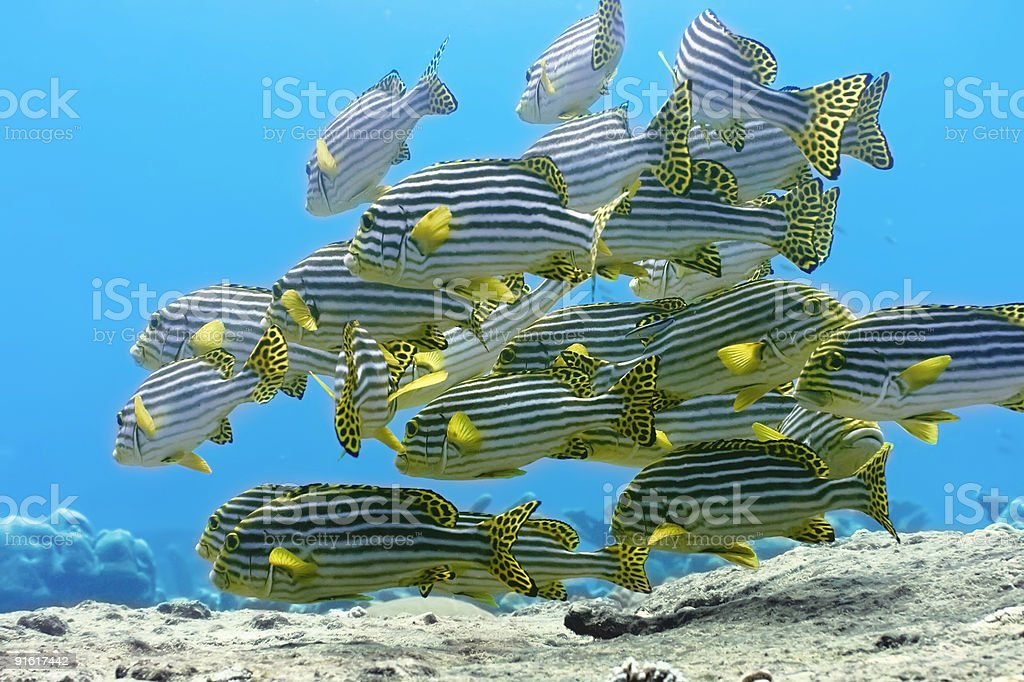 A school of oriental sweetlips swimming on the ocean bottom royalty-free stock photo