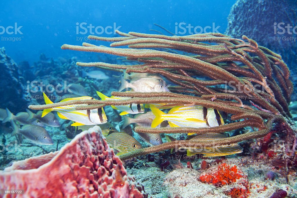 School of Porkfish, Anisotremus virginicus royalty-free stock photo