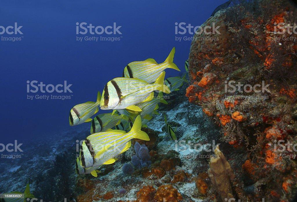 School of Porkfish stock photo
