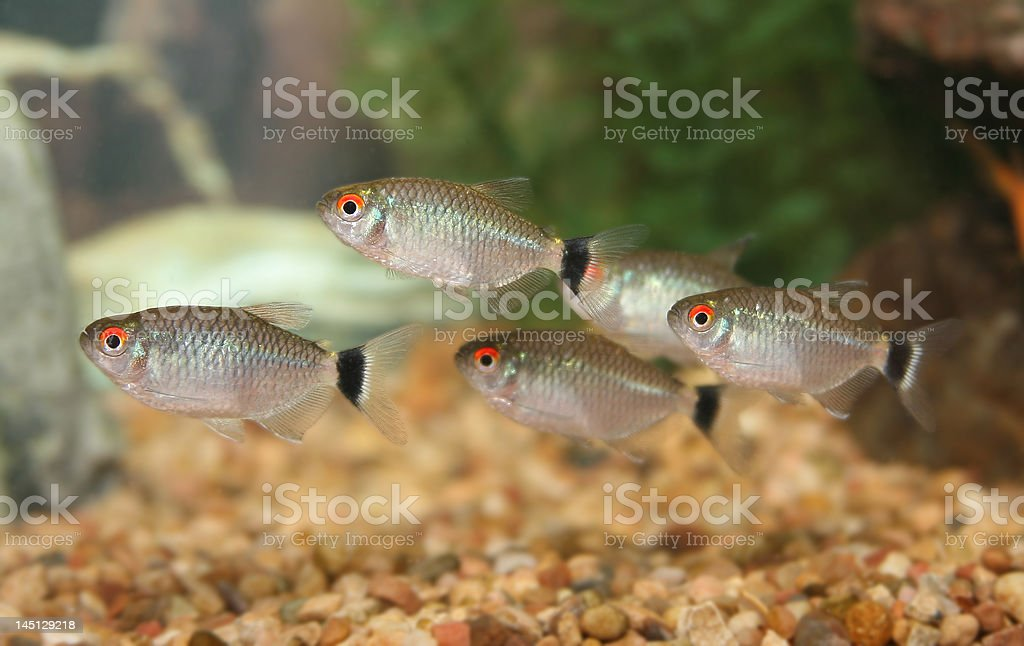 School of Red Eye Tetra fish. stock photo