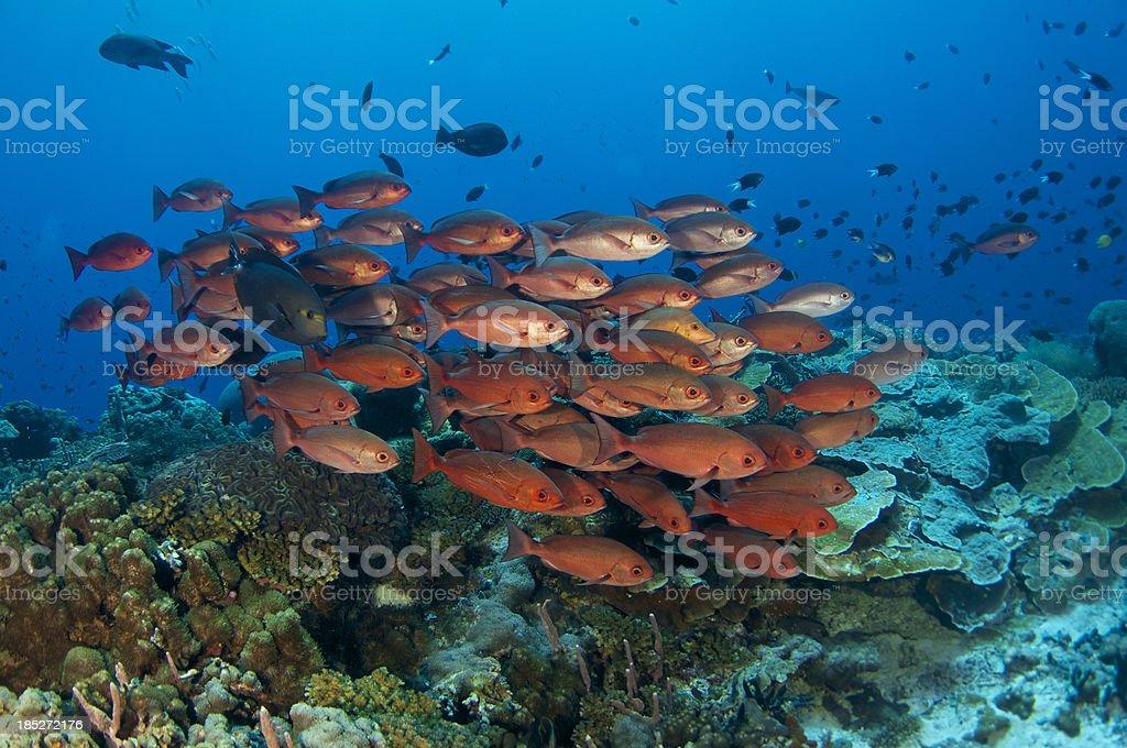 School of red fish stock photo