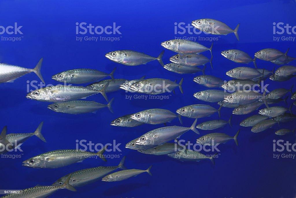 School of Sardines stock photo