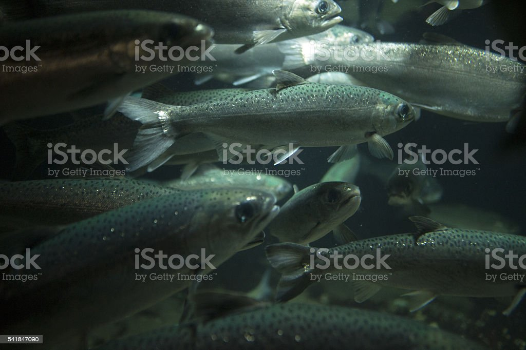 School of Silver Salmon stock photo