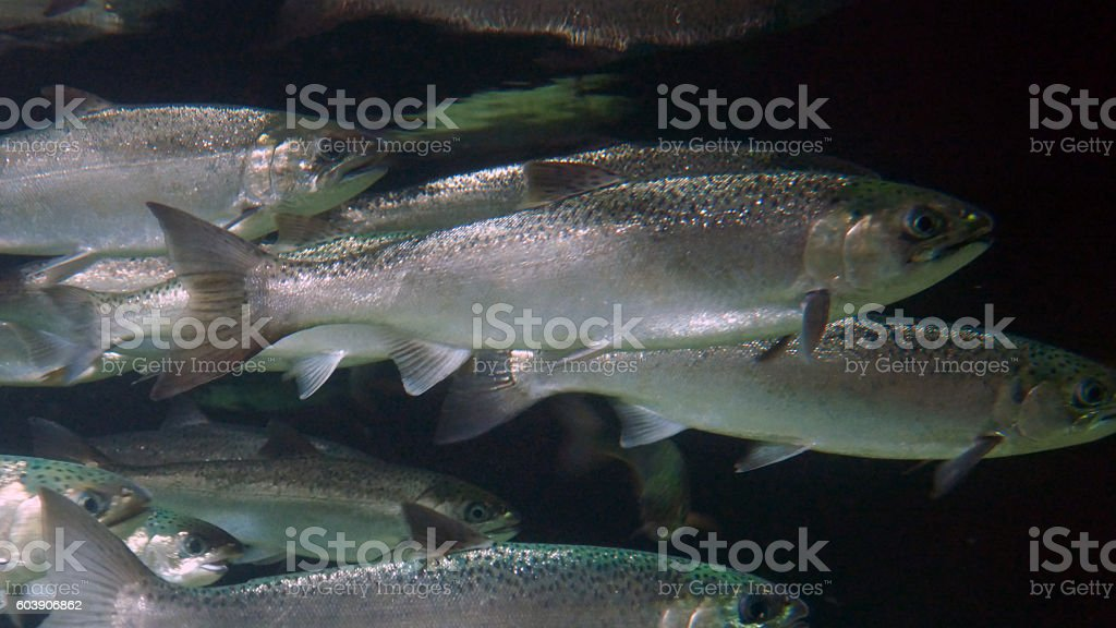 School of Silver Salmon stock photo