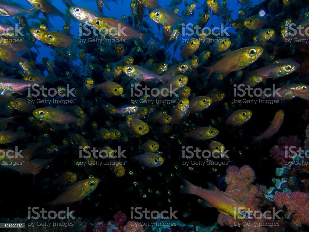 School of small Cardinal fish stock photo