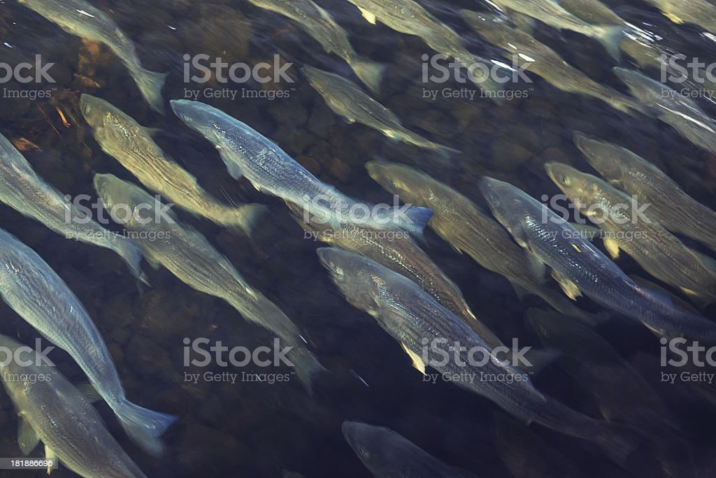 School of Striped Bass stock photo