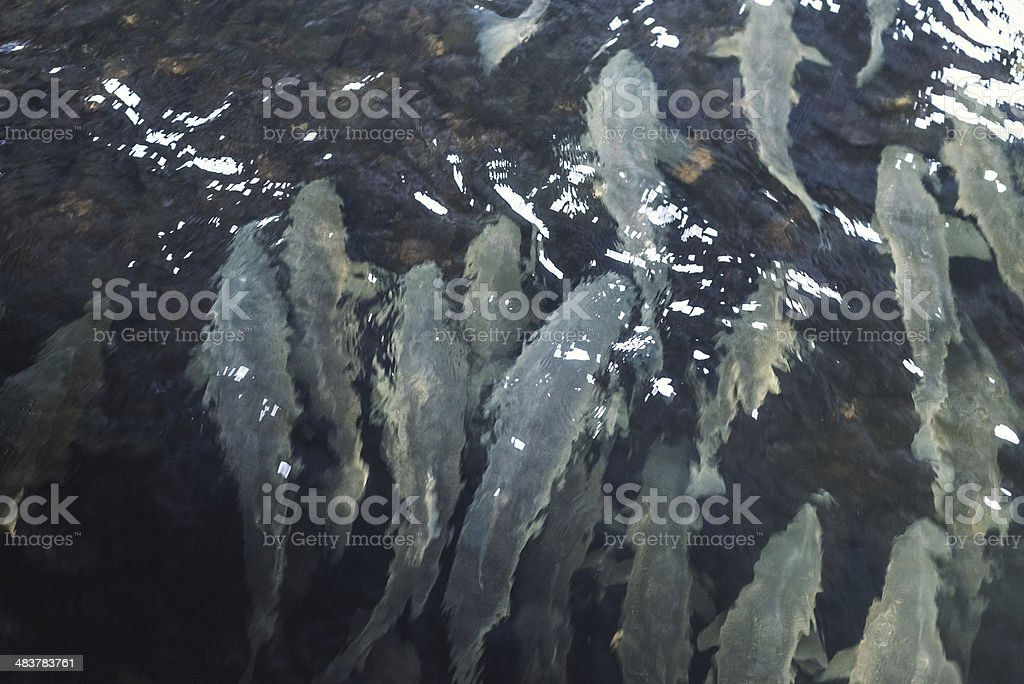 School of Stripers royalty-free stock photo