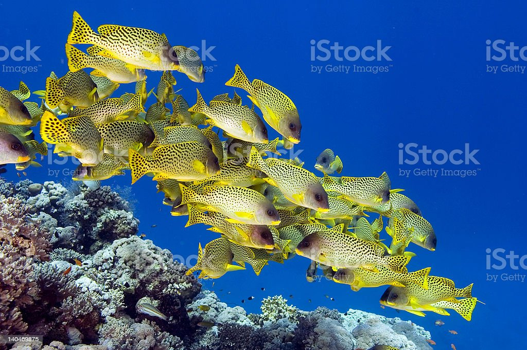 School of sweetlips stock photo