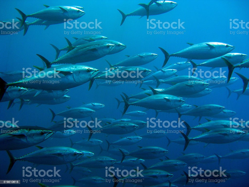 School of tuna stock photo