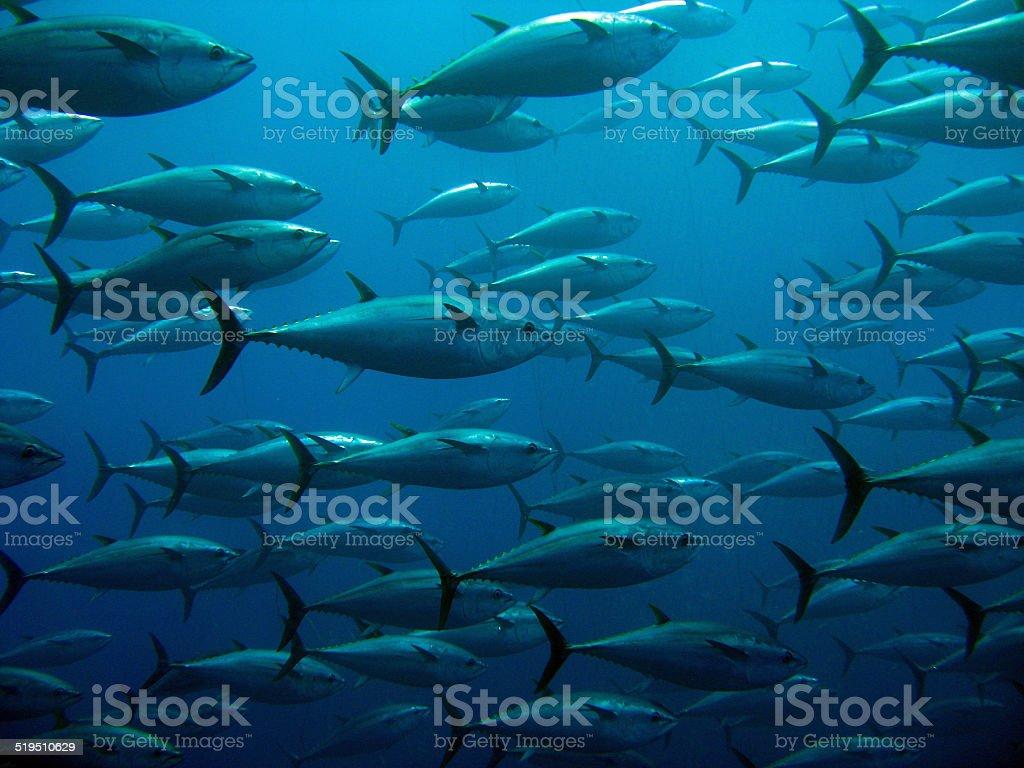 School of tuna stock photo