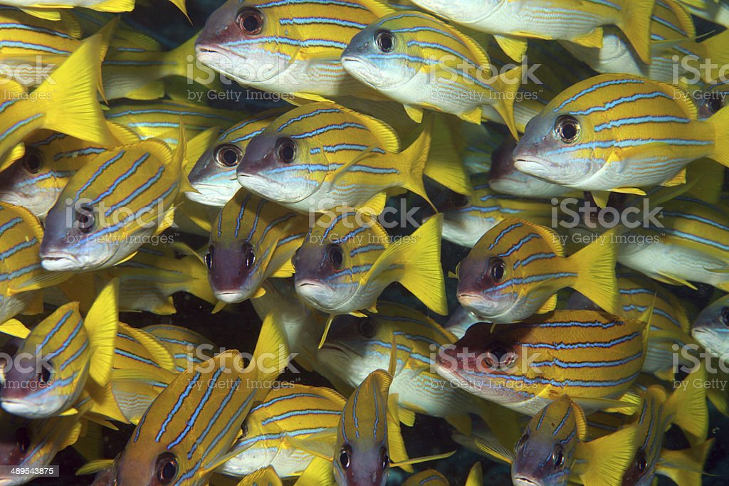School of yellow striped snappers stock photo
