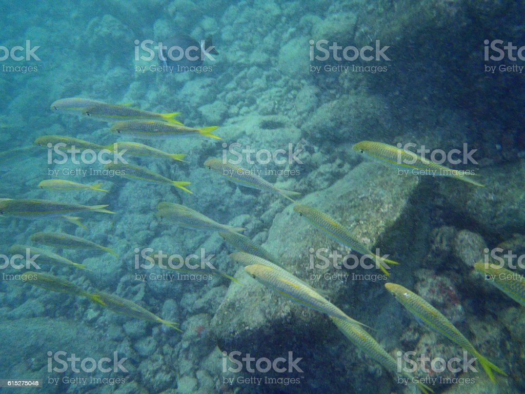 School of Yellow tailed fish swim by stock photo