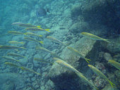 School of Yellow tailed fish swim by