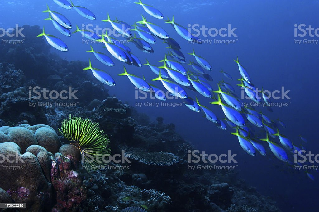 School of Yellowback fusiliers swimming in blue water stock photo