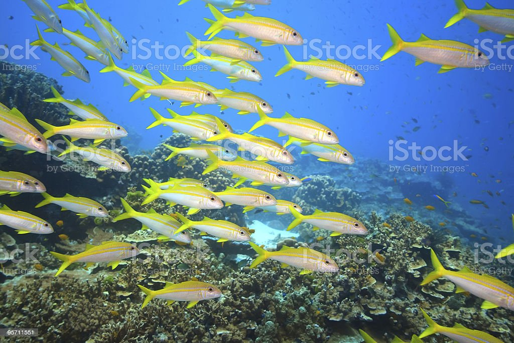 School of Yellowfin goatfish royalty-free stock photo