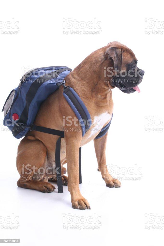 Schooldog royalty-free stock photo