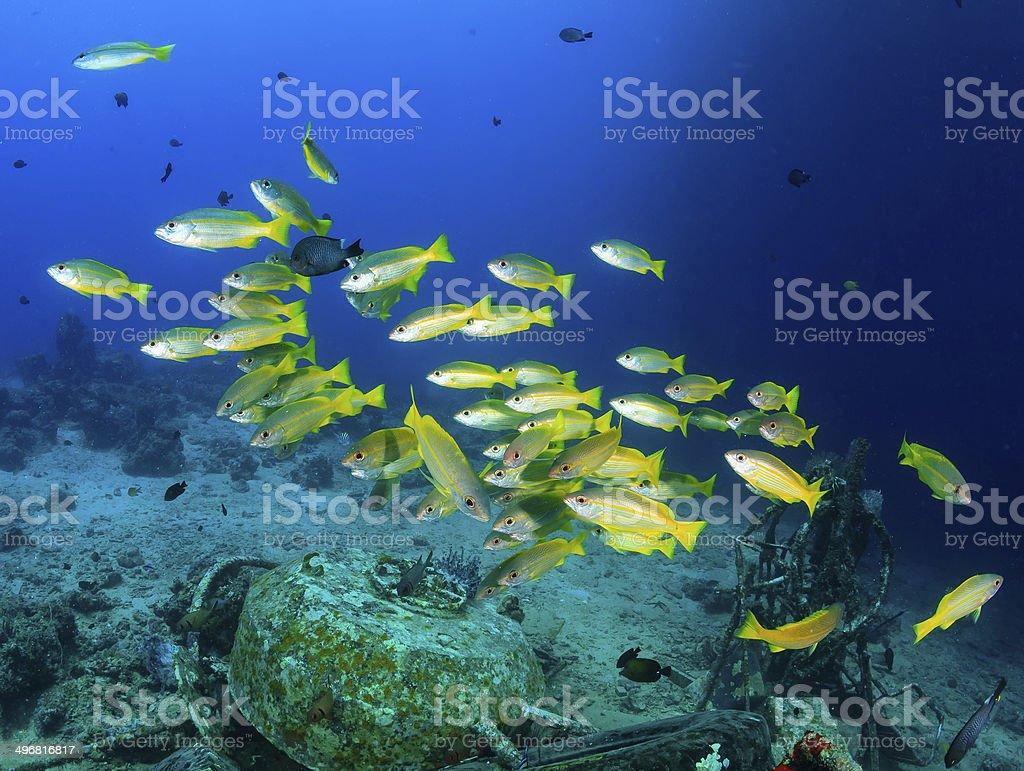 Schoolf of Yellow Snapper on an underwater oil platform wreck stock photo
