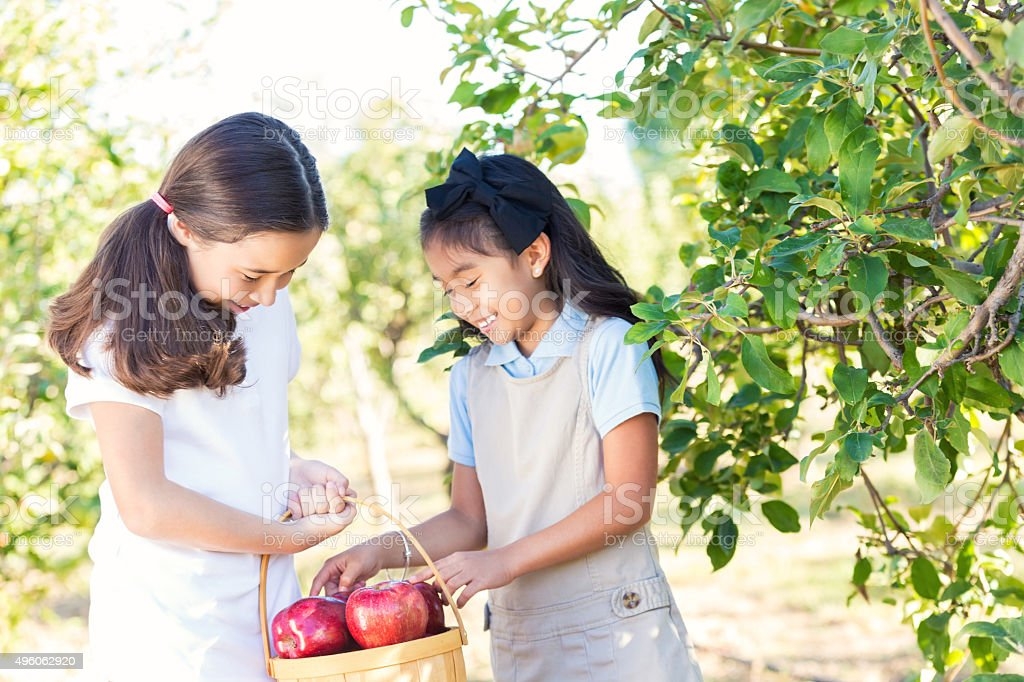 Schoolgirls picking apples during field trip at local orchard stock photo