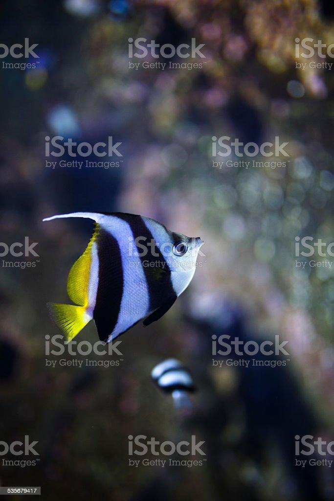 Schooling bannerfish - Tropical fish stock photo