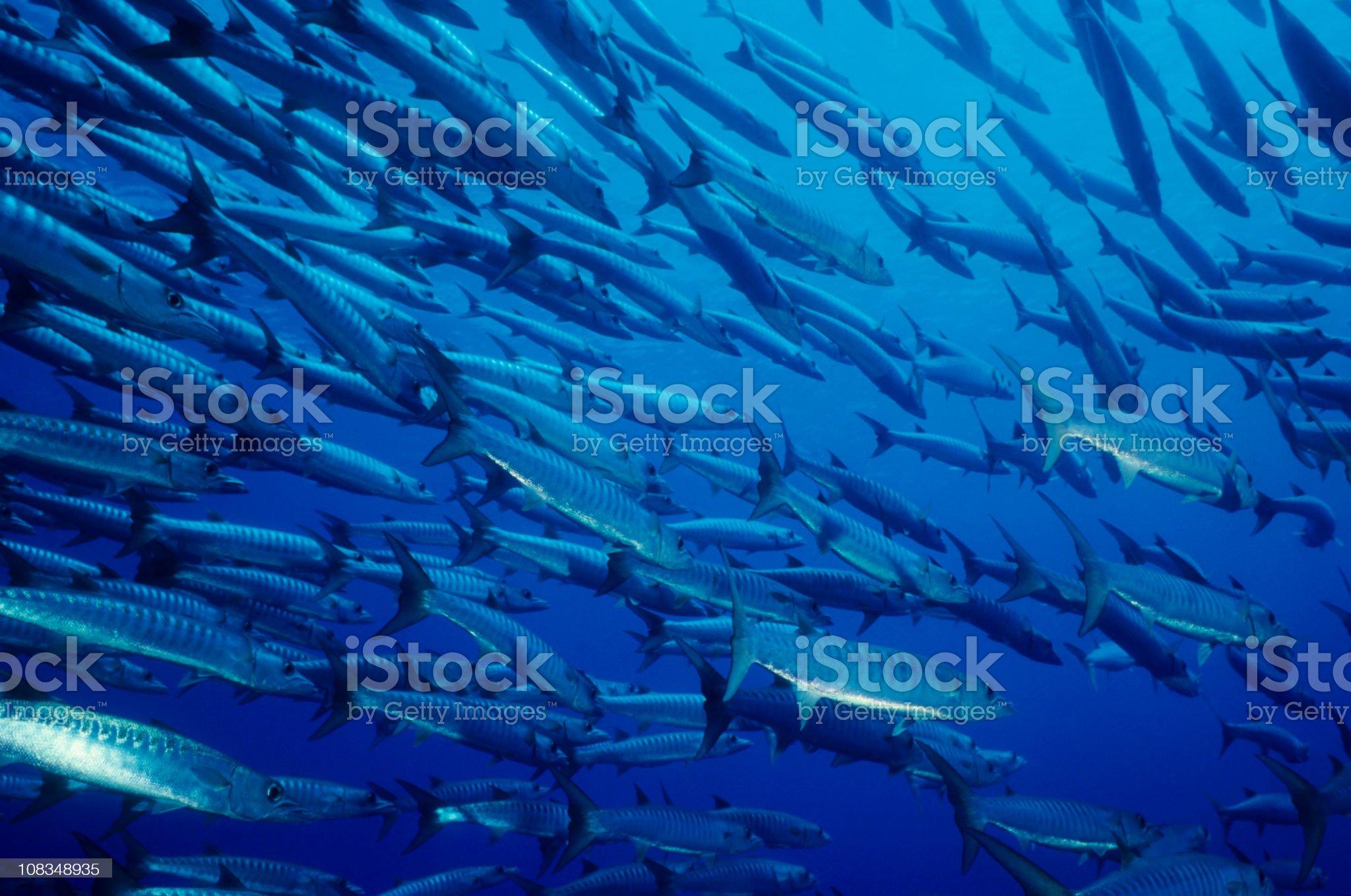Schooling Barracudas royalty-free stock photo