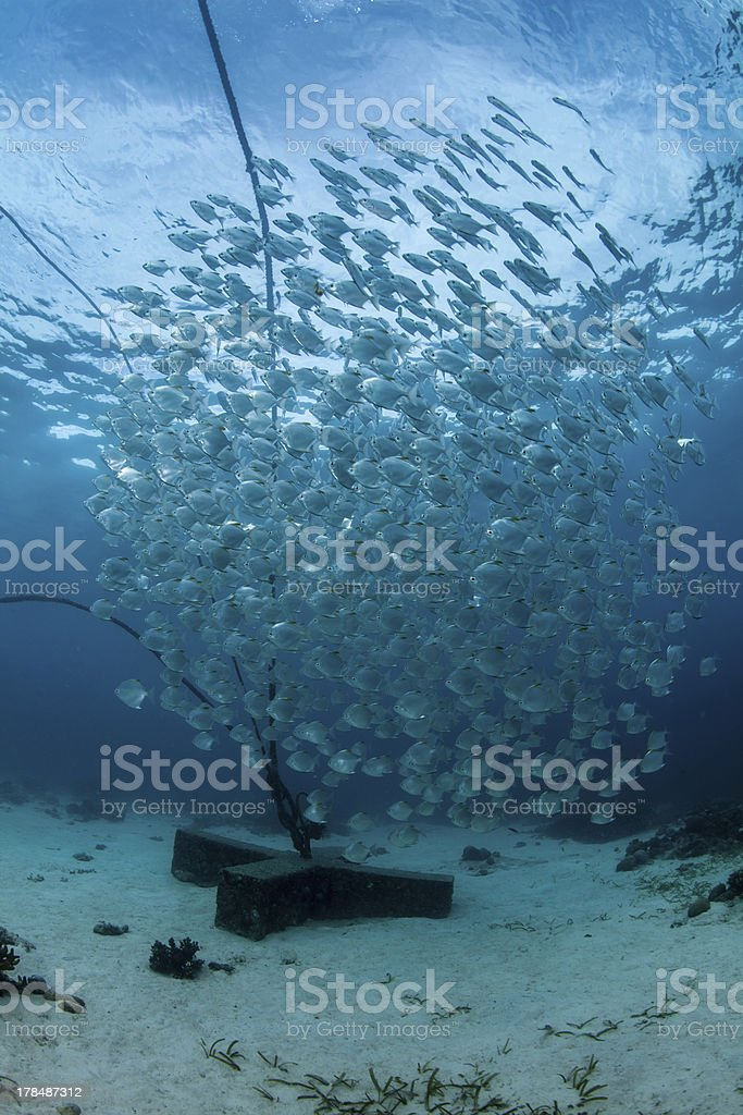 schooling batfish on the house reef royalty-free stock photo