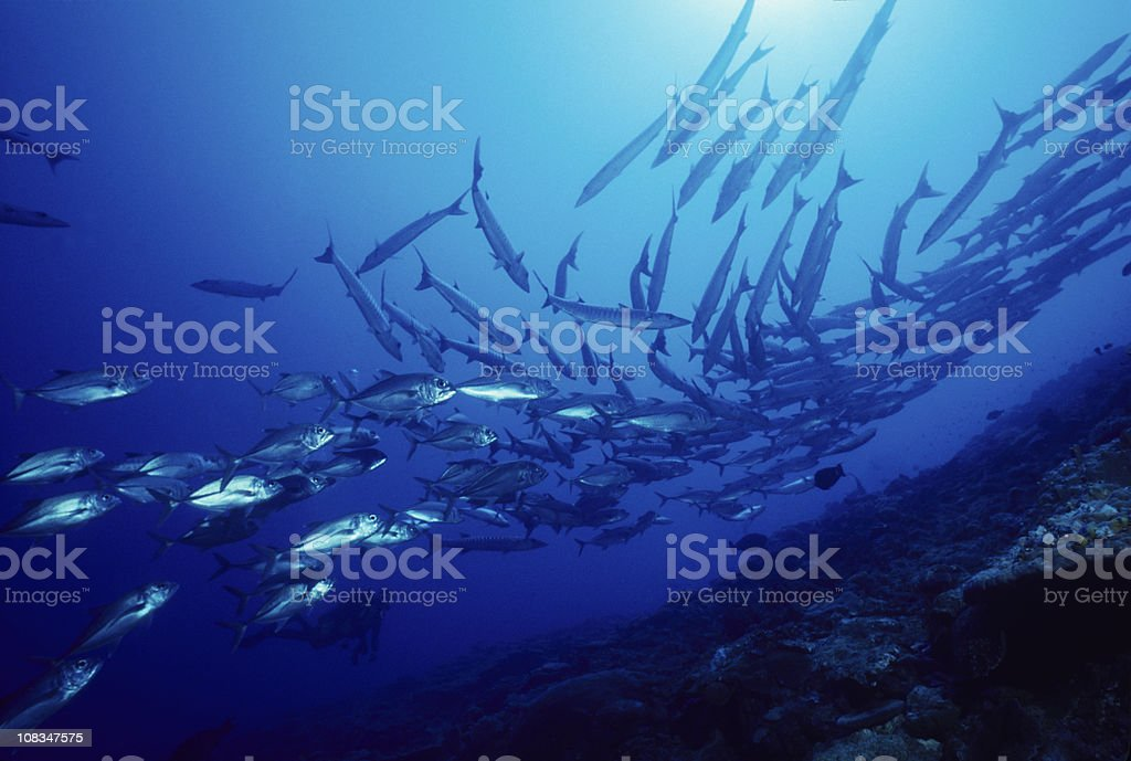 Schooling Fish stock photo