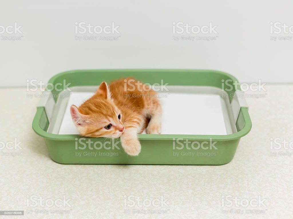Schooling kitten to the toilet stock photo