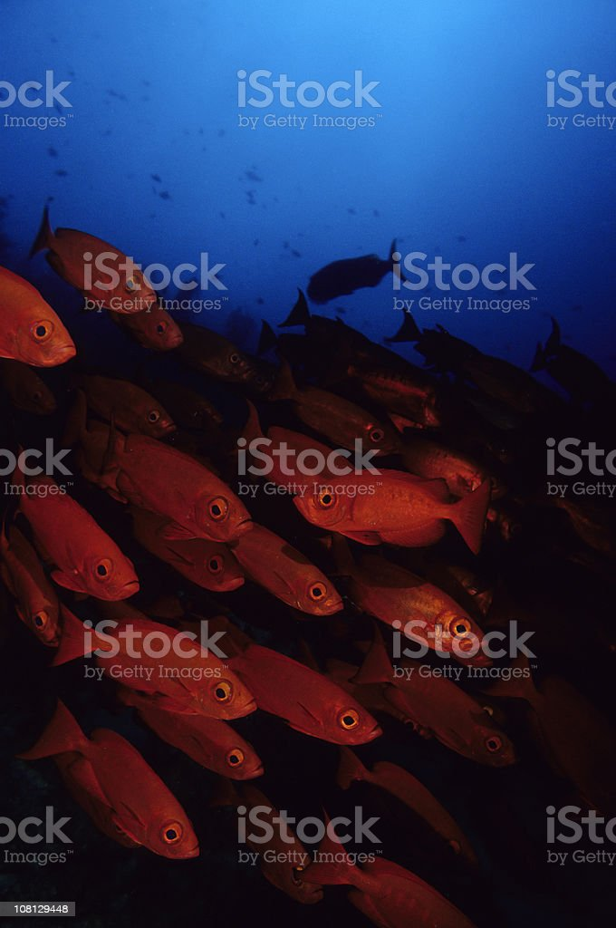 Schooling Red Fish royalty-free stock photo