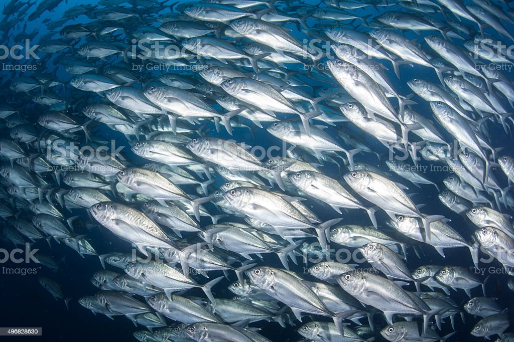 Schooling Trevally in Pacific Ocean stock photo