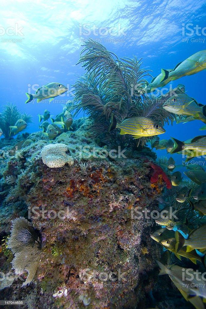 Schooling tropical fish, Key Largo stock photo