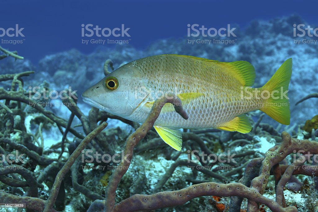 Schoolmaster Snapper- Cozumel, Mexico stock photo