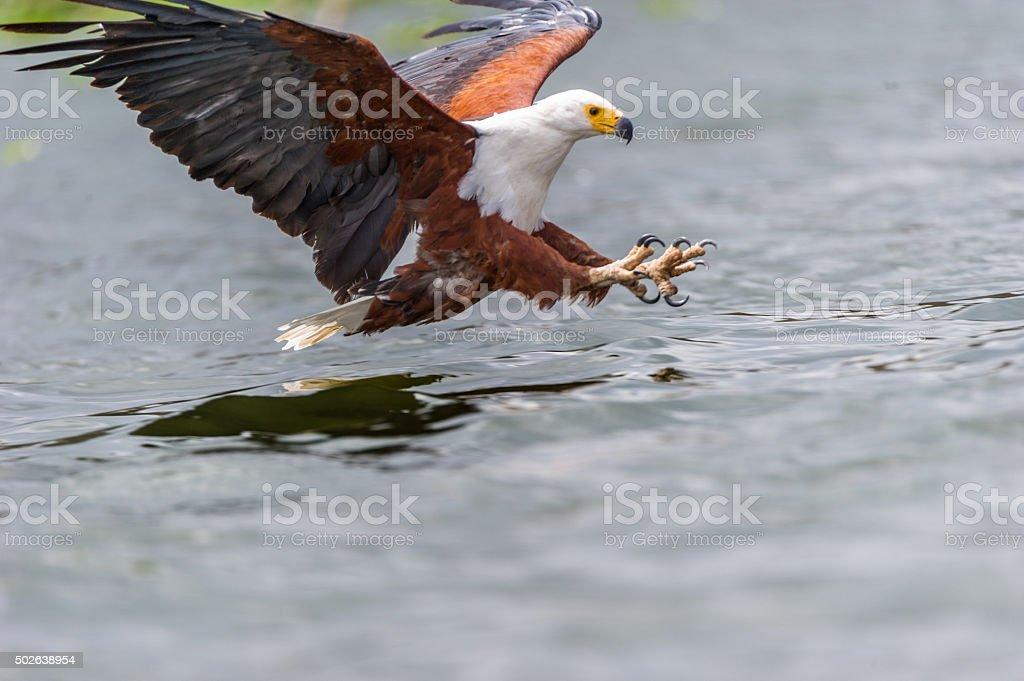 Schreiseeadler bei der Jagt stock photo