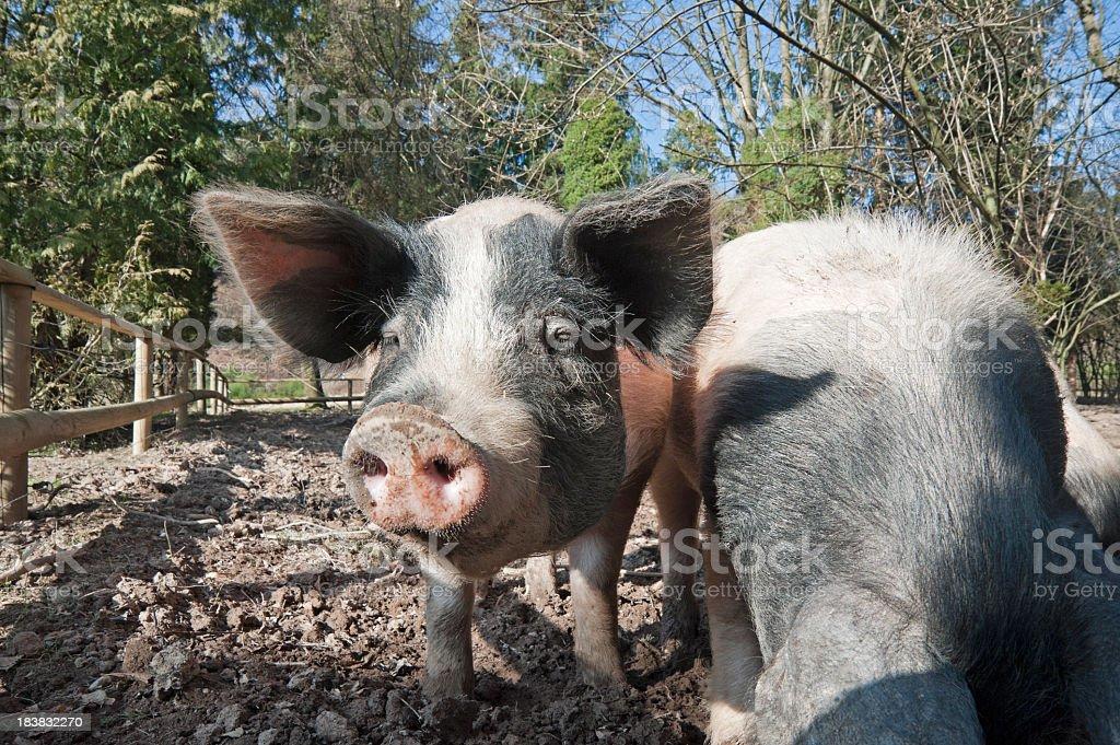 Schwaebisch-Haellisches Landschwein, pig stock photo