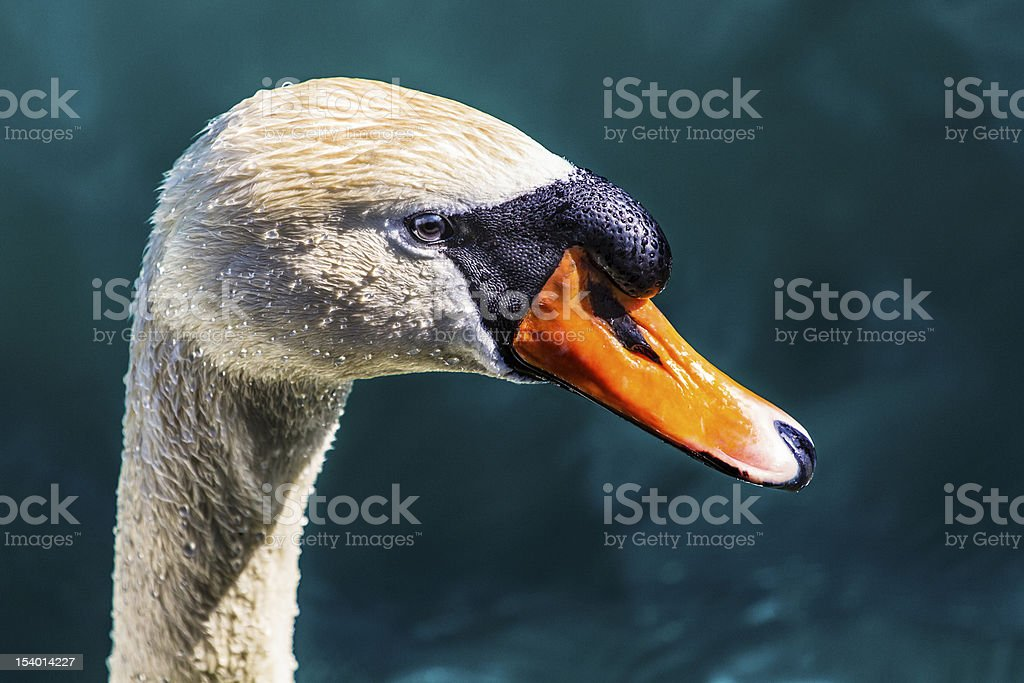 Schwanenportrait - Swan stock photo
