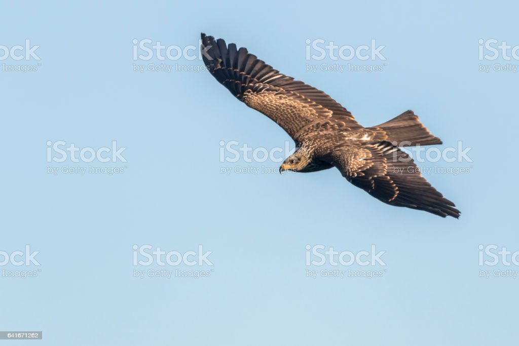 Schwarzmilan (Milvus migrans) stock photo